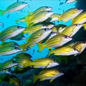 Blue Banded Snappers