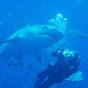 Tiger Shark Diving