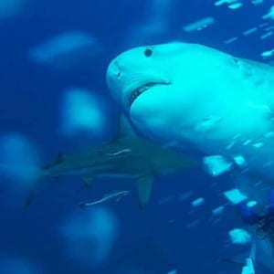 Tiger Shark No Cage Diving
