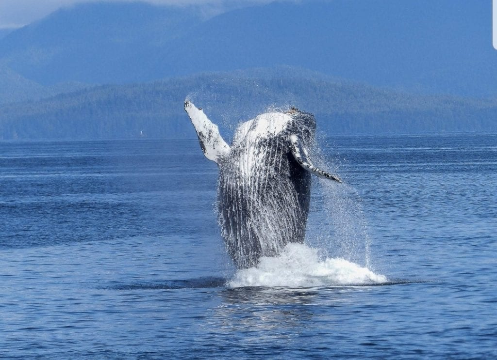 humpback whale, baleen whale, marive life, marine mammal, cetacean