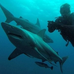 Shark Diving No Cage