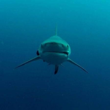 Oceanic Black Tip Shark Diving