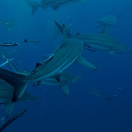 Diving with Sharks and no cage