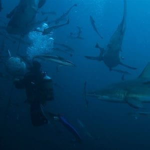 Oceanic Black Tip Shark Diving