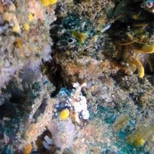 Popcorn / Harlequin Shrimp