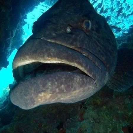 Potato Bass - Grouper, Blue Ocean Blog