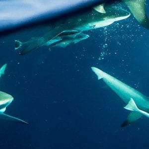 Shark Dive Snorkel