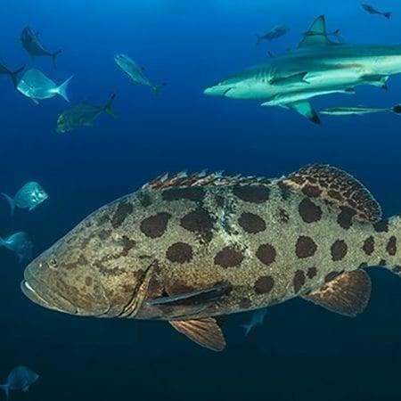Potato Bass on Shark Dive