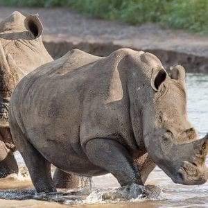 White Rhino Big 5 Safari