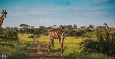 Big 5 Safari Giraffe