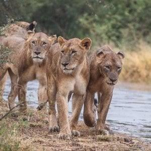 Big 5 Safari Lion Pride