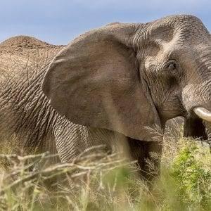 Big 5 Safari Elephant Bull