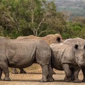 White Rhino Herd