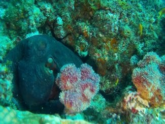 Octopus on the reef, changing colour for camouflage