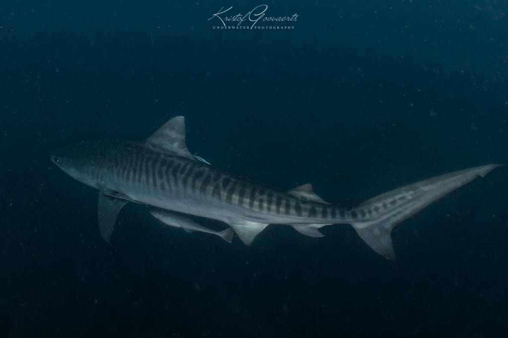 The younger the Tiger Shark, the more prominent their stripes