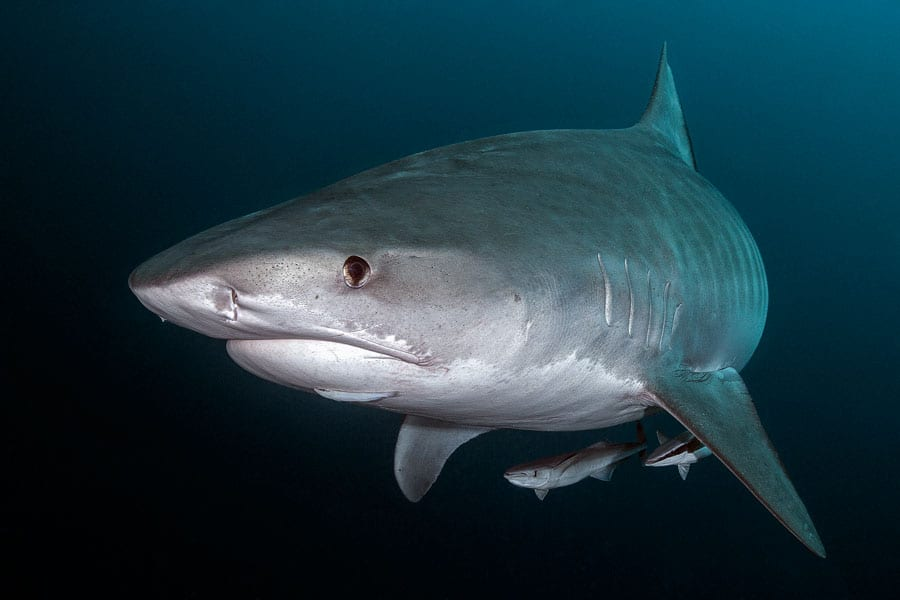 Tiger Sharks have nictitating membrane in their eyes, protecting their eye while eating
