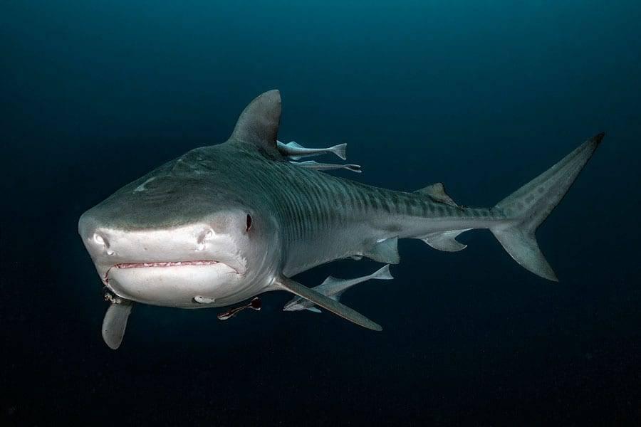 Tiger Shark on Aliwal Shoal